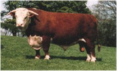 Sapi-Hereford-1.jpg